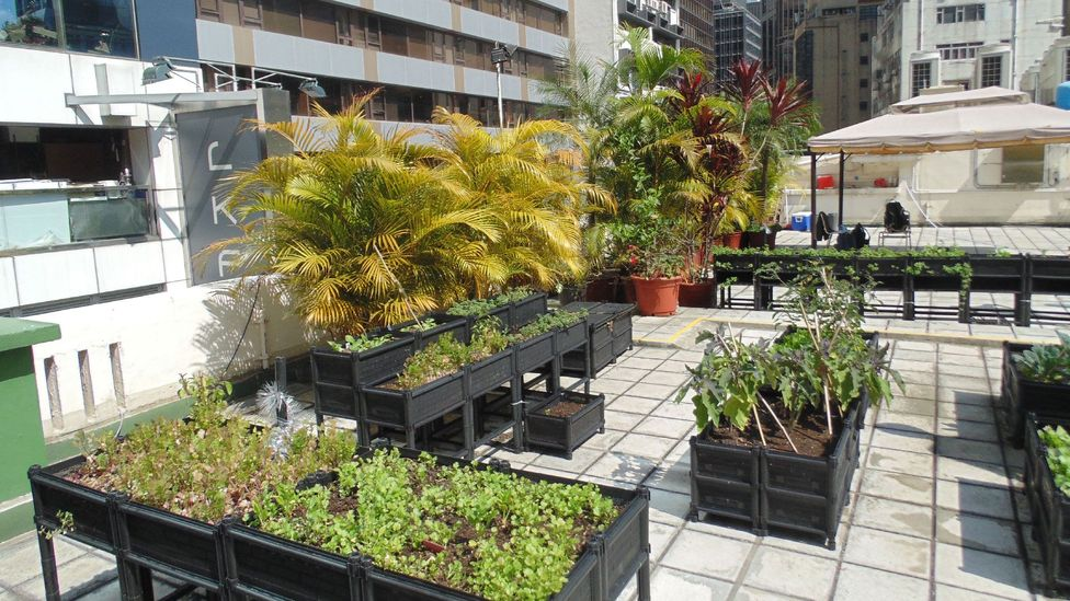 The rooftop farm at the Hong Kong Fringe Club provides ingredients for the bar and restaurant below (Credit: Robert Davies)
