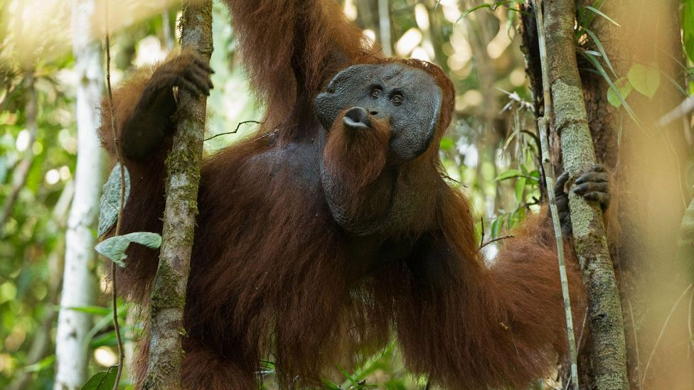 Orangutans in the wild making a kind of squeaking sound - a signal that may be closer to whistling than speech (Credit: Alamy)
