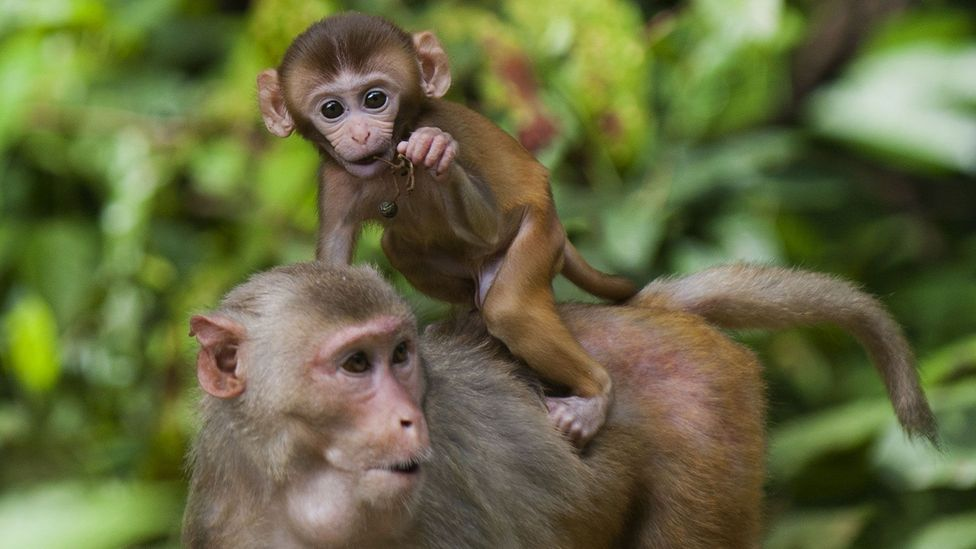 Rhesus monkeys given a stricter, low calorie diet lived longer (Credit: Getty Images)
