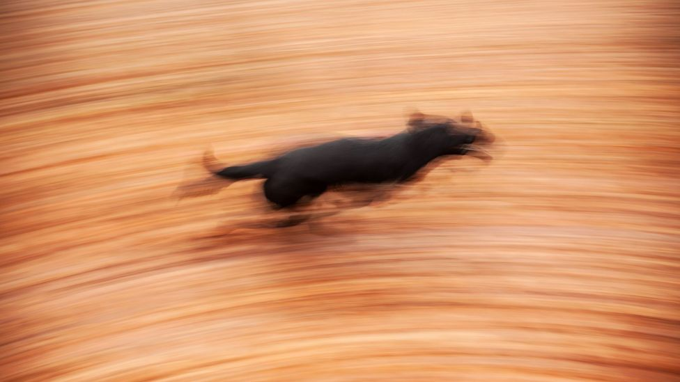 Blur of running dog (Credit: iStock)