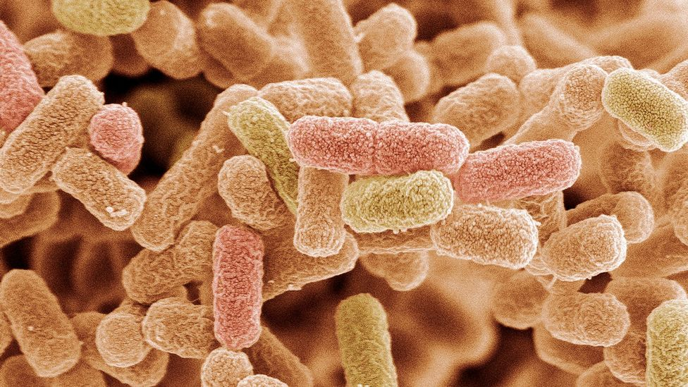 E. coli bacteria (Credit: Science Photo Library)