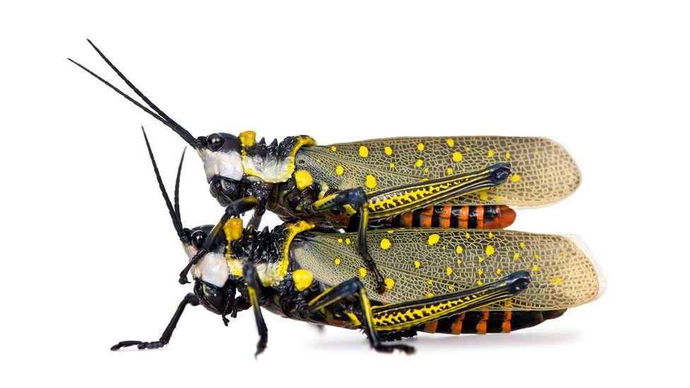 Pair of locusts (Credit: Alamy)