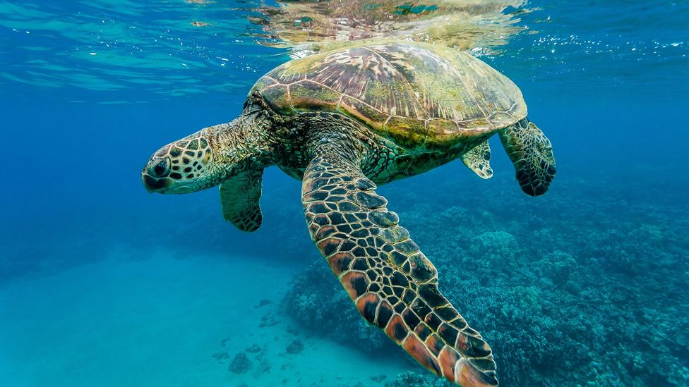 As temperatures rise, green turtle populations may be heavily skewed in favour of females (Credit: Alamy)