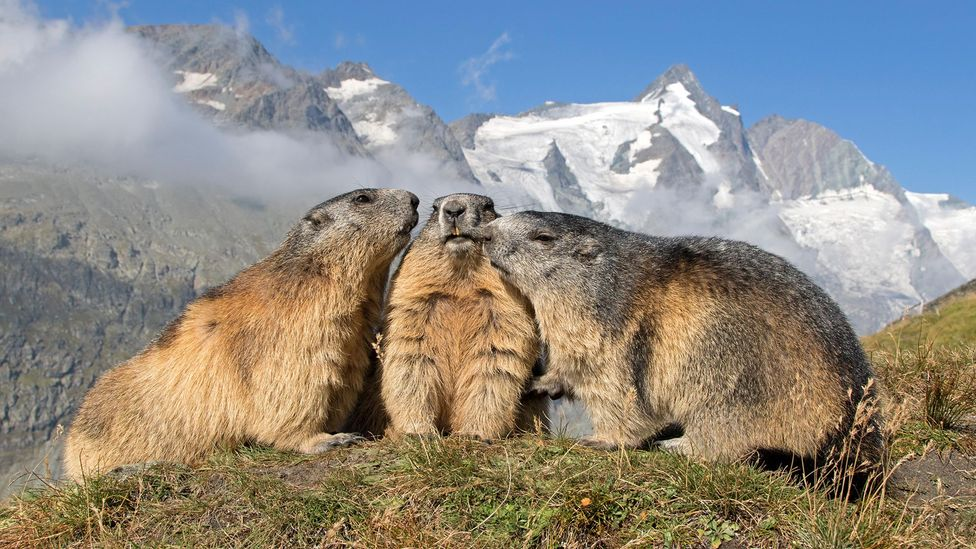 Rising temperatures may make alpine species like marmots more prone to infidelity (Credit: Alamy)
