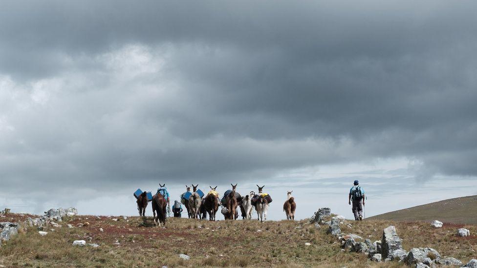 A hiker and llamas on the Qhapaq Ñan in Peru (Credit: Kevin Floerke)