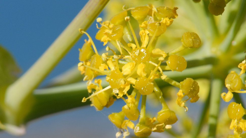 The ancient herb may be hiding in plain sight as giant Tangier fennel (Credit: Wikimedia Commons/Yan Wong)