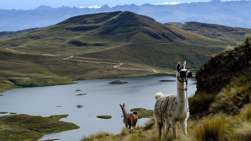 Llamas in a field in Peru (Credit: Kevin Floerke)