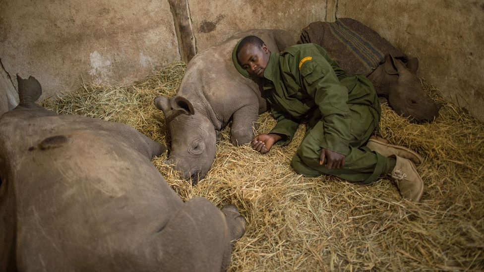 Yusuf, a keeper at the Lewa Wildlife Conservancy (which partners with the NRT) in northern Kenya sleeping among orphaned baby rhinos (Credit: Ami Vitale/Alamy)