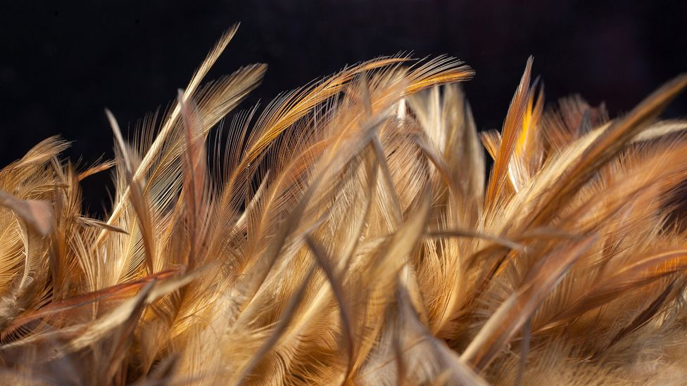Chicken feathers (Credit: Alamy)