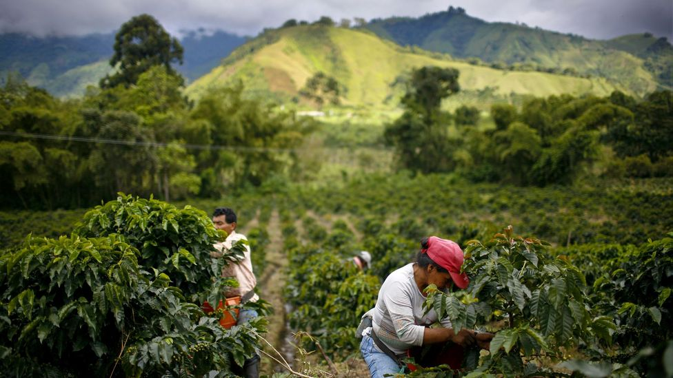 Colombia's coffee industry employs around 730,000 people, most of them on the deprived rural areas of the country (Credit: Getty Images)