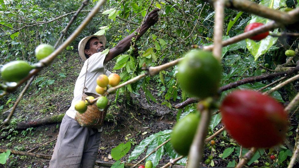 If rust takes hold, can Colombian coffee's distinct flavours survive intact? (Credit: Getty Images)