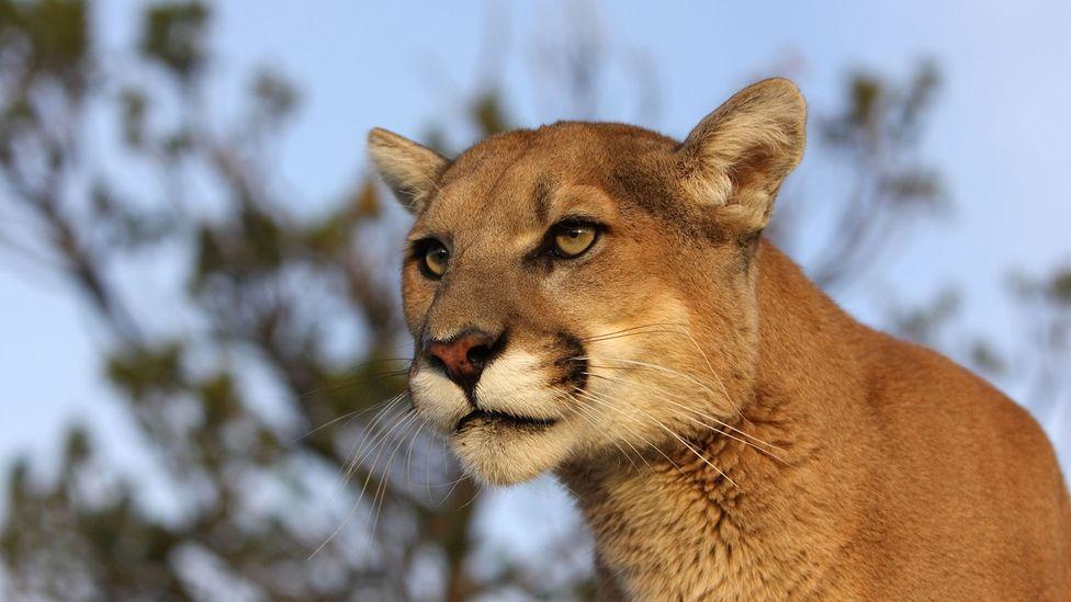 Cougar (Credit: Alamy)