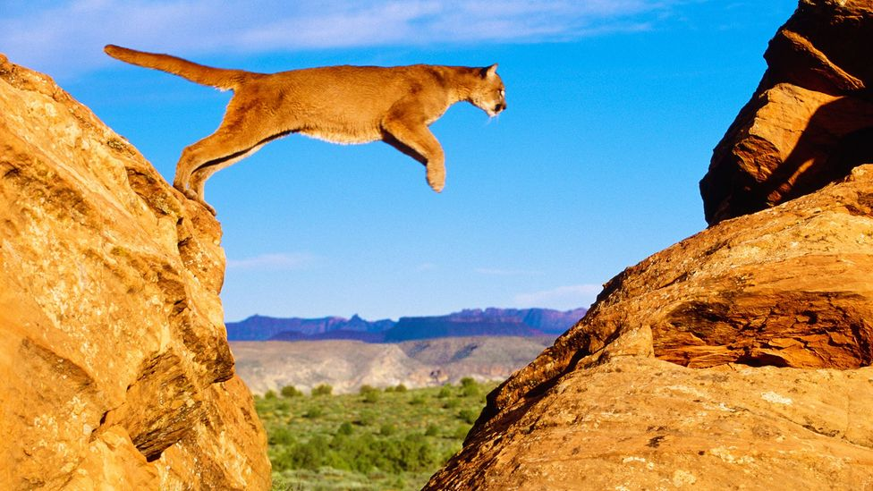 Mountain lions range across wide areas - and often stray onto farms and ranches (Credit: Alamy)