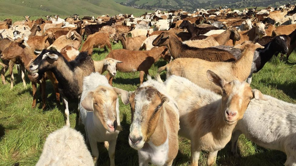 Karen Simes' large herd of goats like these has not been attacked - thanks to guard dogs (Credit: Alamy)