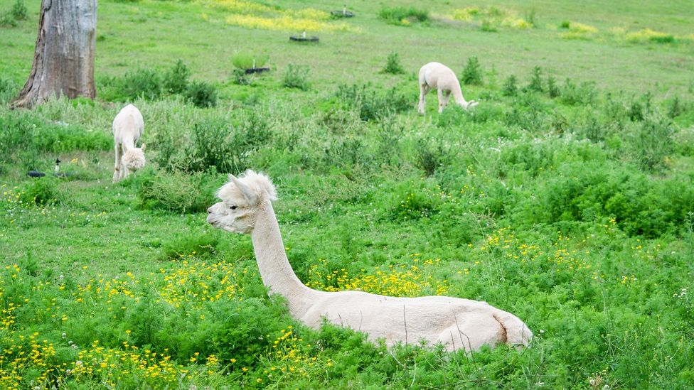 Alpacas have become a target for some of the cougars living in the mountains (Credit: Alamy)
