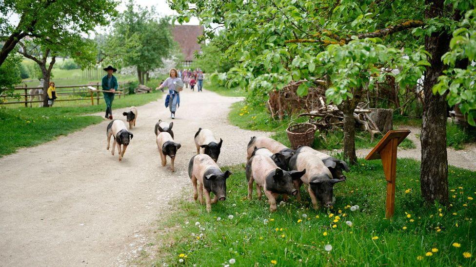 Owning a pig used to mean you had a certain amount of wealth and status (Credit: imageBROKER/Alamy)