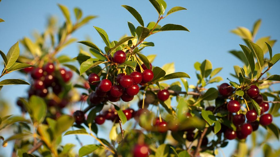 Prairie cherries are tart and can be eaten straight from the tree (Credit: Greg Huszar Photography/Tourism Saskatchewan)