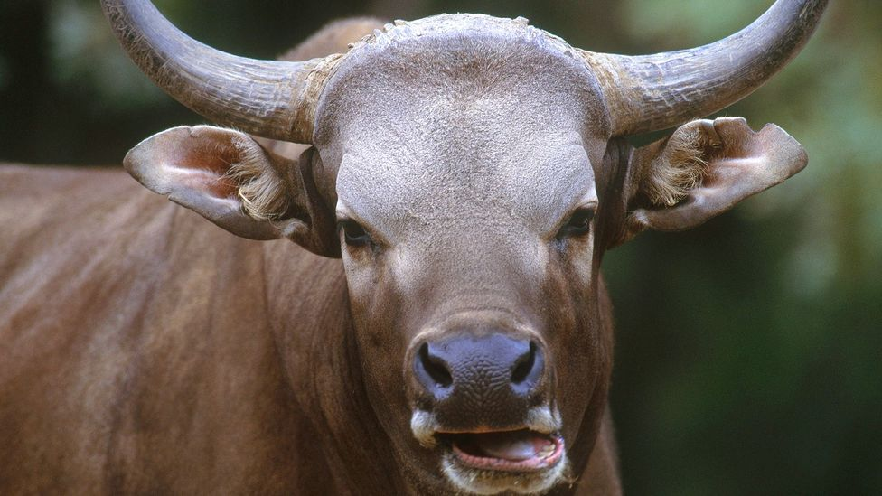 A banteng was successfully cloned from a frozen skin sample and kept at the San Diego Zoo (Credit: Science Photo Library)