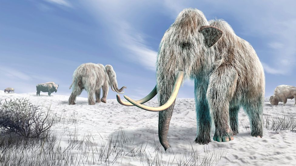 We may be within a few years of bringing the woolly mammoth back in the form of an elephant hybrid (Credit: Science Photo Library)