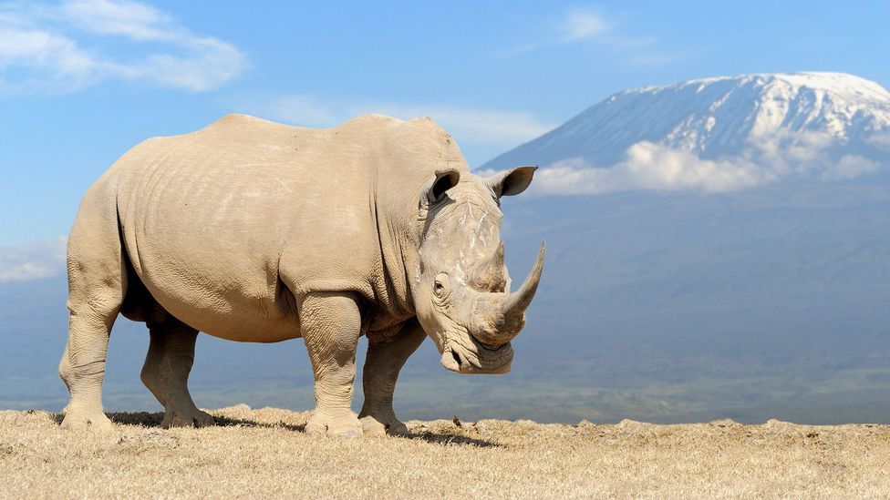 Efforts to conserve endangered species like the white rhino are controversial (Credit: Getty Images)