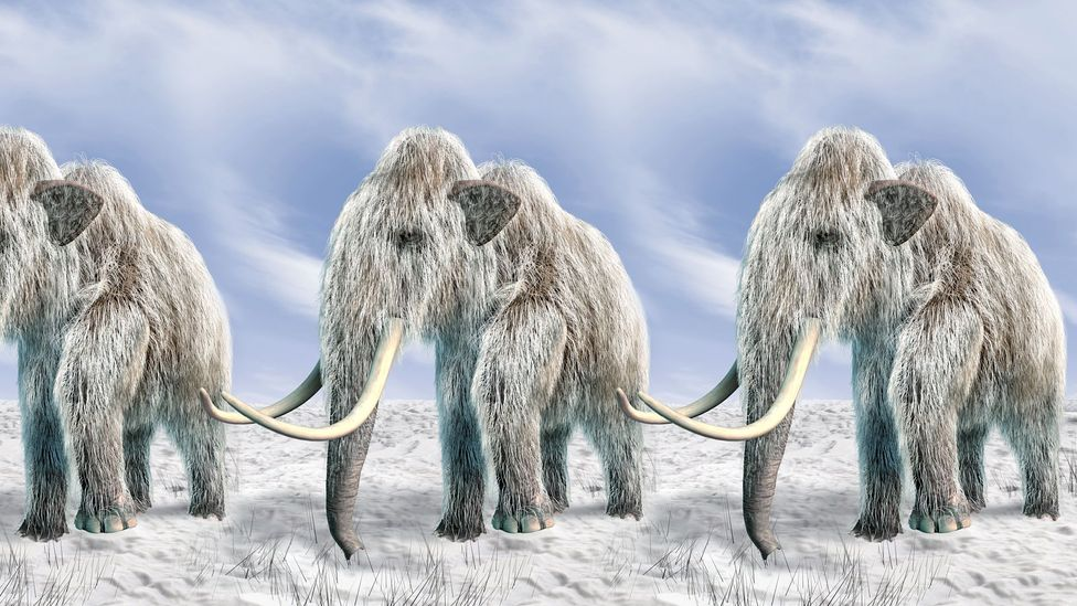 Woolly mammoths cloned (Credit: Getty Images)