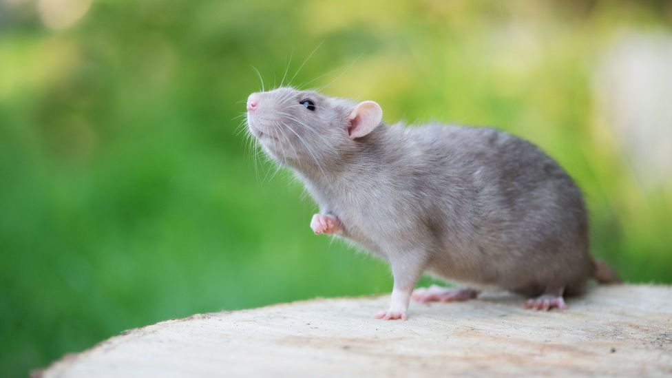 Professor Sophie Scott found that rats stop laughing if they feel anxious (Credit: Getty Images)