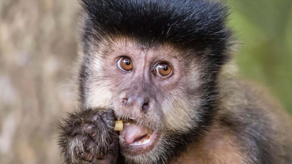 Are monkeys high rollers? Risk versus reward experiments show most people will gamble and go for the riskier choice. Surprisingly, so do some monkeys (Credit: Alamy)