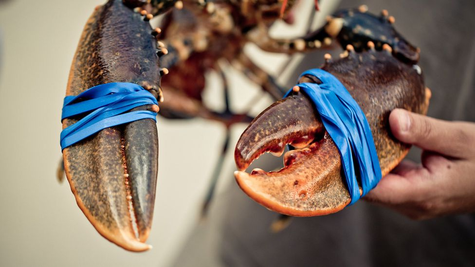The use of rubber bands to secure the claws of lobsters has led to a huge new worldwide market for elastic (Credit: Getty Images)