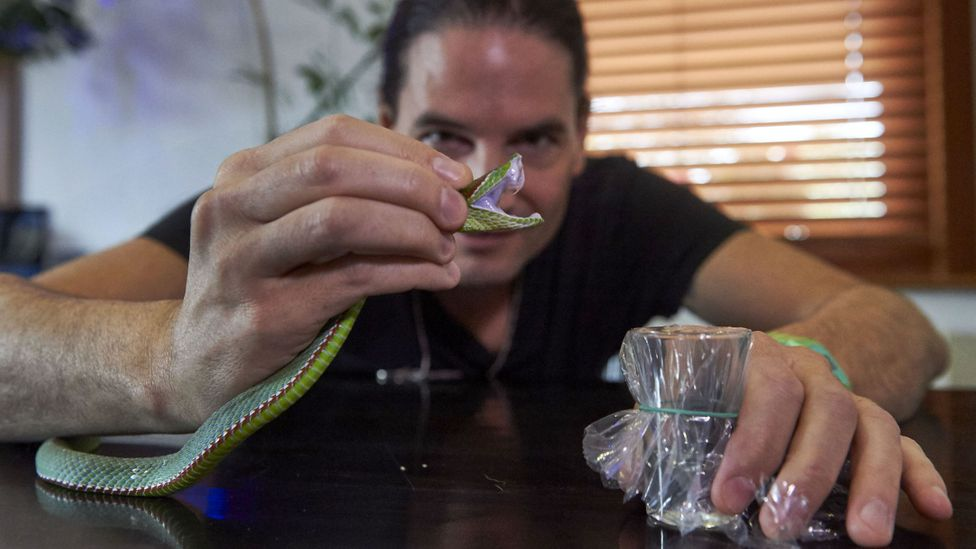 Venom extracted from a Pope's Pit Viper (Credit: Getty Images)
