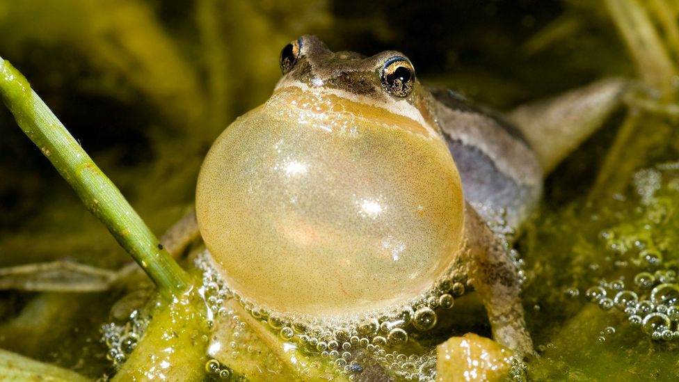 Many animals, such as male frogs, lower their vocal pitch to assert their dominance over others nearby