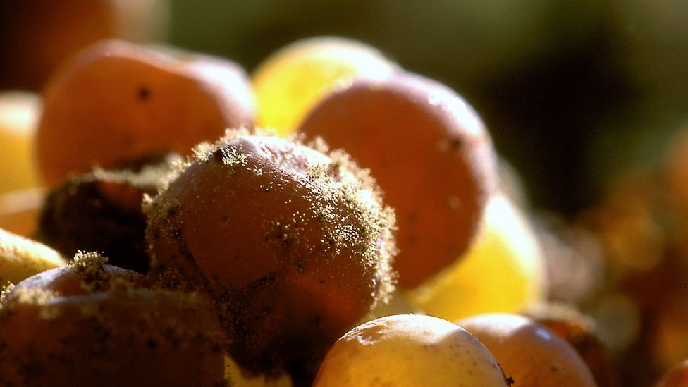 Organisms may play a bigger role than soil; the mould Botrytis, for example, is crucial for sweet wines like Sauternes (Credit: Getty Images)