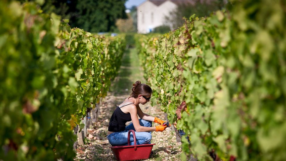Even if natural geology affected a wine's flavour, most vineyards are artificially manipulated so much that this link may not be justified (Credit: Alamy)
