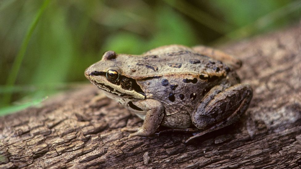 Some animals like the wood frog can stop their metabolic processes, yet remain alive (Credit: Alamy)