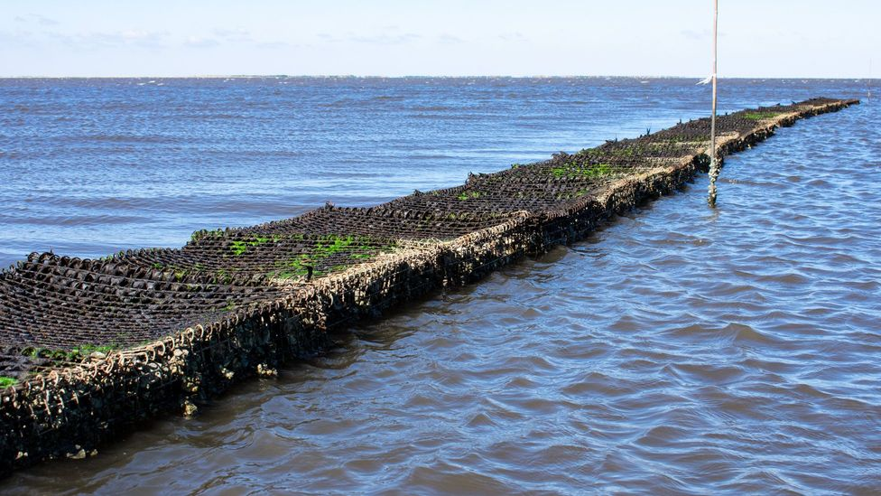 A wall of oyster shells provides more benefits than concrete or granite (Credit: Amanda Ruggeri)