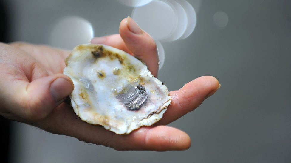 Young oysters like to settle and grow on other oyster shells – like the one shown here (Credit: Getty Images)