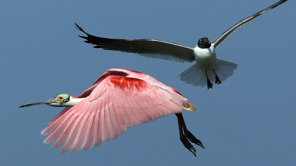 A roseate spoonbill crosses a seagull in the air; spoonbills, which nest along the Gulf of Mexico, are threatened by coastal erosion (Credit: Getty Images)
