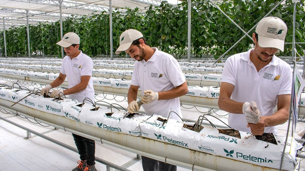 Three workers plant cucumber seedlings in the cooled greenhouse interior (Credit: Amanda Ruggeri)