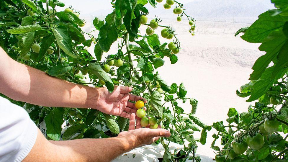 Head grower Blaise Jowett shows his tomatoes growing near the greenhouse wall (Credit: Amanda Ruggeri)