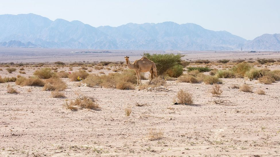 Grazing camels are a typical sight at the Sahara Forest Project (Credit: Amanda Ruggeri)