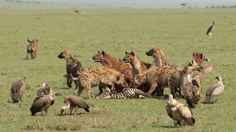 Female hyenas are larger than the males – and direct where the group goes (Credit: Getty Images)