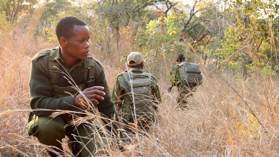 Wadzanai Munemo pauses while out on a morning patrol to survey the area for elephants (Credit: Rachel Nuwer)