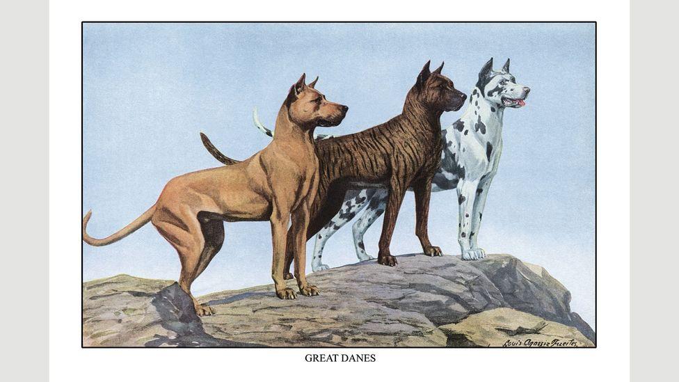 German boarhounds were renamed Great Danes (Credit: Getty)