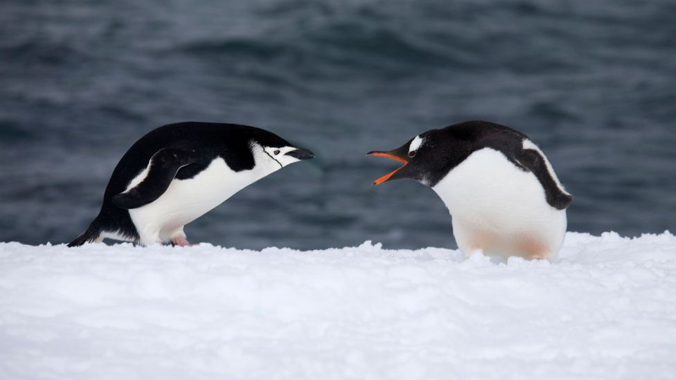It isn't just the penguins who are territorial in Antarctica (Credit: Getty Images)