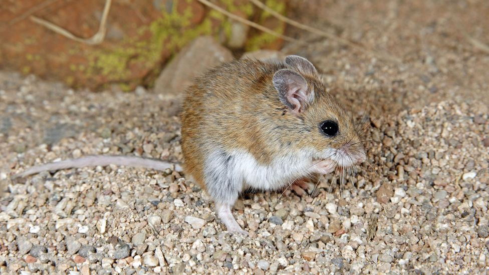 Hantaviruses are usually spread when rodents come into contact with people, who contract it via urine, saliva and droppings (Credit: Alamy)