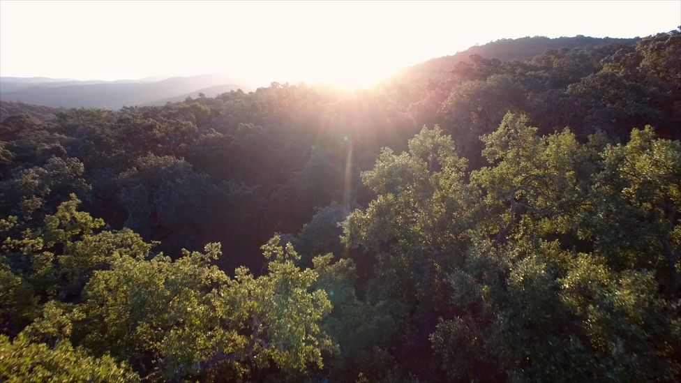 Many of acorn-producing oak trees grow on a savannah-like grassland called a dehesa (Credit: Max Duncan)