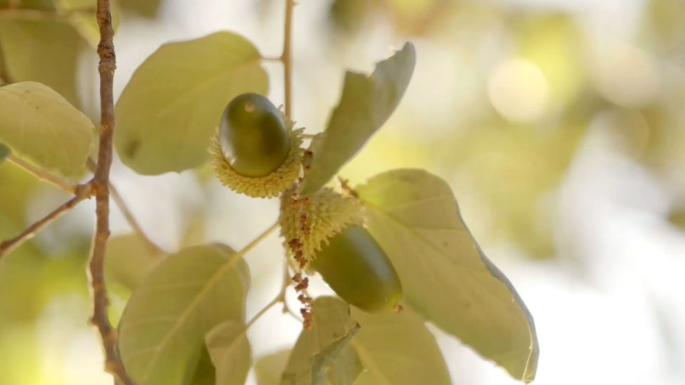 Acorns are high in oleic acid, a fatty acid also found in olives (Credit: Max Duncan)