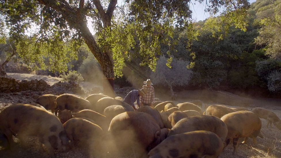 The 200 or so pigs at Dehesa Maladúa are a reddish brown with dark spots (Credit: Max Duncan)