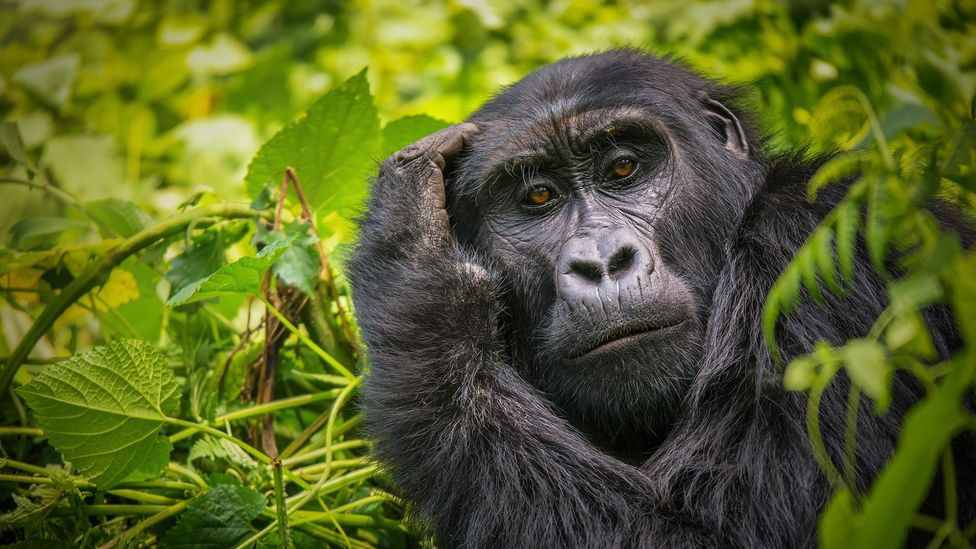 Look into the eys of a gorilla, and you are aware you are being scrutinised by another intellect (Credit: Getty Images)