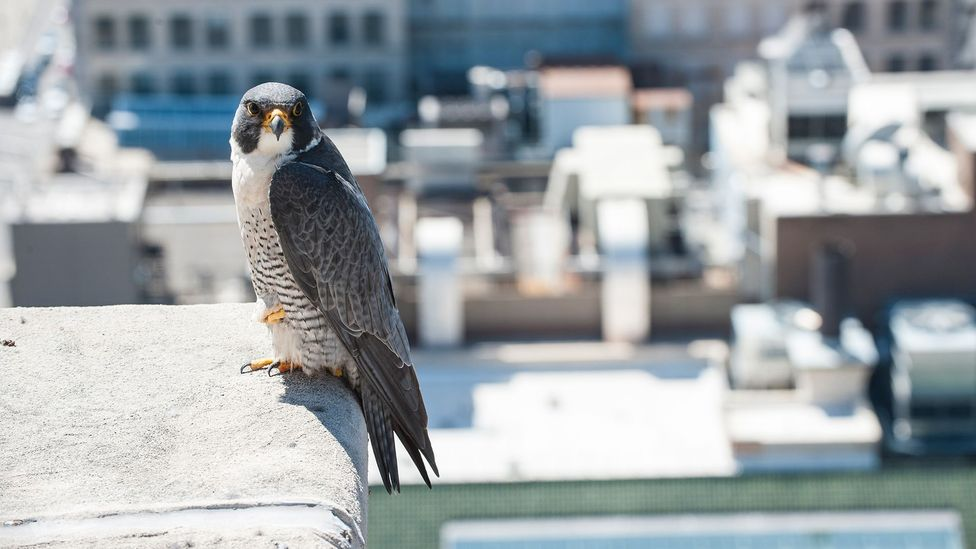Peregrine falcon on ledge (Credit: Getty Images)