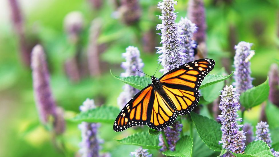 what plants do monarch butterflies lay their eggs on